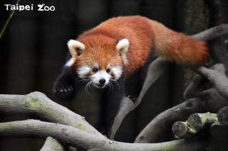 「美美」是兩年前出生四隻小貓熊中唯一的女生。(圖/台北市立動物園提供)