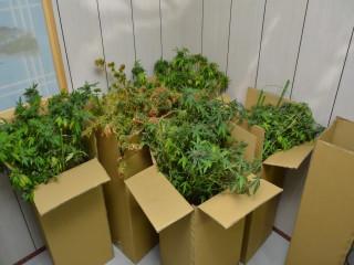 霧峰警方查獲大麻。林重鎣攝