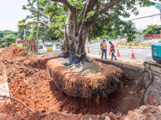市府新工處運用「全樹型移植工法」,保護樹木根部不受損傷。