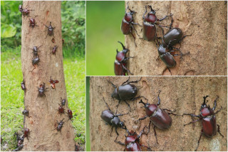 深溝水源生態園區光臘樹上的甲蟲家族。(圖/記者陳木隆攝)