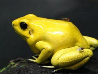從日本円山動物園引進台北市立動物園的金色箭毒蛙,在保育員的努力照養下,今年所產下的一批批卵中,終於出現首隻成功變態的小蛙。(圖/台北市立動物園提供)