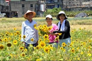 三星鄉有機米香節落幕,盛開的向日葵開放採摘。(圖/三星鄉公所提供)