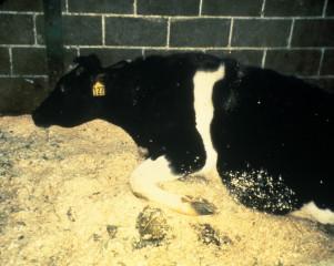 美國爆出第5例狂牛症病例,,衛福部長陳時中表示,經專家會議開會後,仍就美方提供的資訊,決議維持現行美牛進口政策。(圖/Wikipedia,非當事病例牛隻)