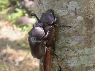 圖說:到東勢林場觀賞獨角仙、鍬形蟲,在樹幹上覓食、打鬥、求偶的自然生態景觀,是許多大、小朋友的最愛。(記者黃玿琮攝)