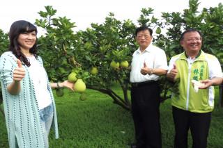 台南市文旦預估今年可多三成產量,主要是氣候正常。(圖/記者黃芳祿攝)