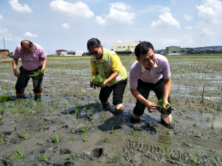 花壇鄉長李成濟今天在斑鳩路彩繪稻田中插秧。
