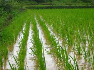 rice-farm-1946224_960_720