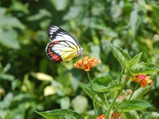 圖說:東勢林場內的蝴蝶種類多達一百三十五種,今年出現數量較多的「紅肩粉蝶」。(記者黃玿琮攝)