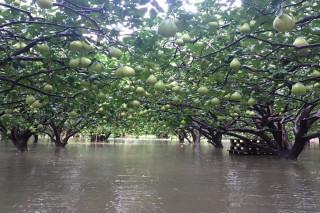 台南文旦園積水及膝。