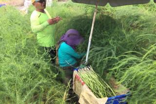 颱風橫掃,長不出青蘆筍,為了交貨,筍農趁雨勢稍停,到筍田割筍。(圖/記者黃芳祿攝)