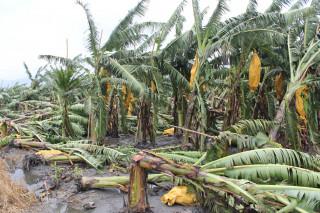 雙颱接力襲台 台東香蕉倒成一片