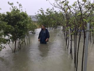 神農獎得主不敵海棠雨狂炸 3萬株櫻花慘遭滅頂