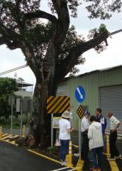 嘉義縣政府邀請專家全力搶救民雄與朴子珍貴老樹