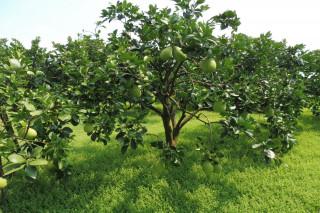 麻豆文旦今年豐收,粒粒文旦高高掛,老柚農卻擔心屆時缺工代為採柚。(圖/記者黃芳祿攝)