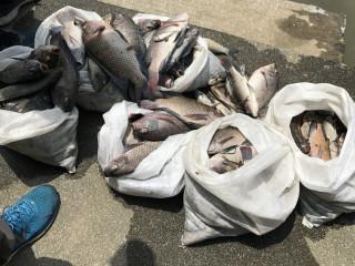 樹林地政事務所旁的鹿角溪中有200隻以上大小不一的死魚。(圖/記者黃村杉攝)