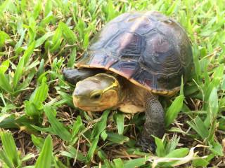 食蛇龜其實模樣可愛,可別被他的名字嚇到