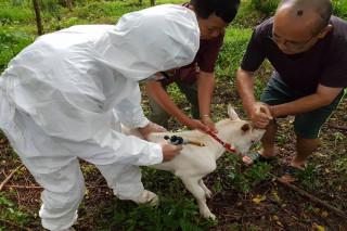 台南市動物防疫保護處人員前往東山區東原國中為校園羊施打口蹄疫苗。(圖/台南市動保處提供)