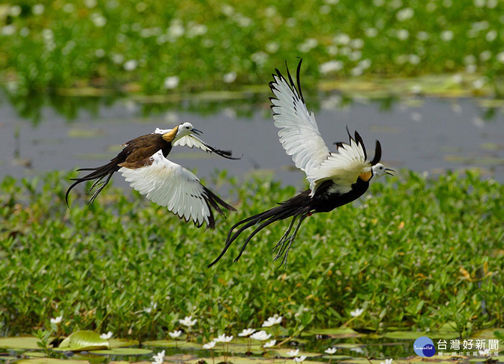 友善耕種護棲地 台南水雉數量較去年成長20%