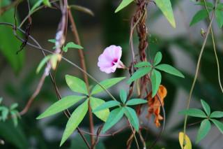 十分珍稀甚至瀕臨絕種的槭葉小牽牛的花朵。(潘樵提供)