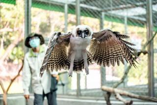 褐林鴞寶寶每日練飛30分 展現猛禽氣勢