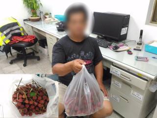 荔枝產量進入尾聲價格飆高 竊嫌好食動手行竊遭警查獲!