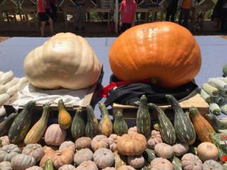 桃園地景藝術節結合社區特色,舉辦「南瓜競大‧金瓜饗宴」假日主題活動。
