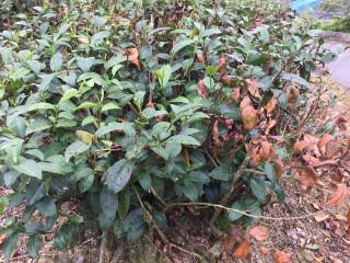 高溫久不雨 坪林茶樹乾枯情況嚴重