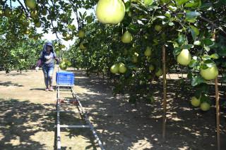 解決柚農老化無方搬運問題,文旦軌道車穿梭在文旦園運送剛採下來的文旦到售貨區。(圖/記者黃芳祿攝)