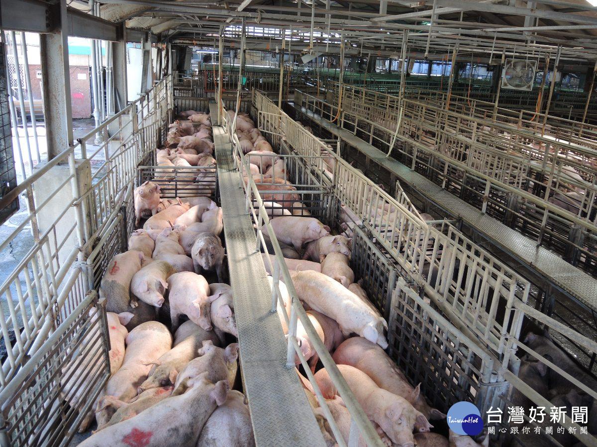 普渡旺季豬價異常回跌 農政單位市場進行調配豬源充足