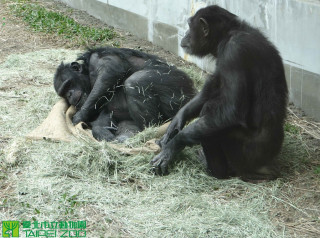 10日下午1點35分時,台北市立動物園驚傳名為「莎莉」的雌性黑猩猩,竟突破防護牆、通電圍籬等防護措施,跑到遊客遊園動線,引起民眾恐慌驚逃。所幸在動物園方人員趕到並引導下,黑猩猩就自行回到展場內,結束這場約20分鐘的驚魂記。(示意圖,非當事黑猩猩 圖/台北市立動物園)
