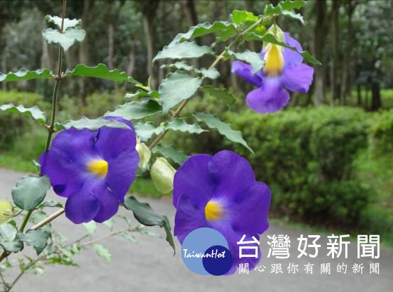 「紫」意降臨9月天 北市花卉試驗中心綻放紫色夢幻