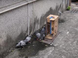 市政府籲請飼主7日內將鴿子領回,逾期逕依動物保護法虐待和棄養查處。