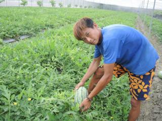 堅持以無毒健康栽種西瓜 「甜美人」已成為消費新寵兒