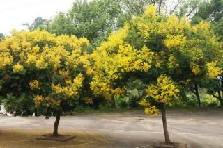圖說:台灣欒樹正在綻放柔黃色、褐色的圓錐蒴果,有如黃金雨灑落的美景。(記者黃玿琮攝)