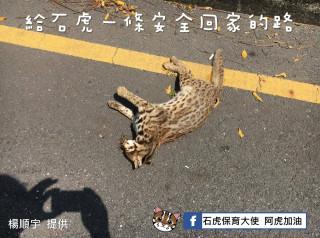彰化近25年首見石虎 可惜是一具冰冷的屍體(圖/翻攝「石虎保育大使 阿虎加油」臉書社團)