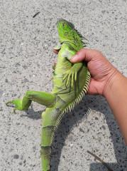 嘉義縣政府辦理「沙氏變色蜥」及「綠鬣蜥」捕捉獎勵收購