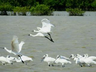 台南七股曾文溪口黑面琵鷺保護區發現今年黑面琵鷺先頭部隊。