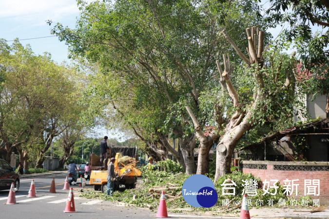 南投市公所委外剪修中正路菩提樹。(市公所提供)