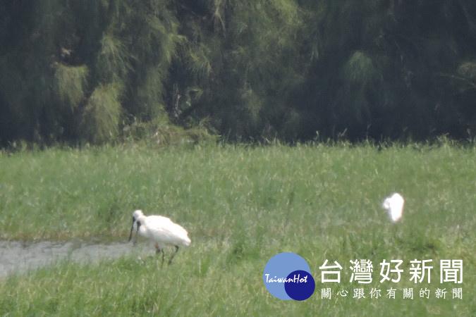 秋風起 鳥蹤現 鰲鼓濕地森林園區為賞鳥預作準備