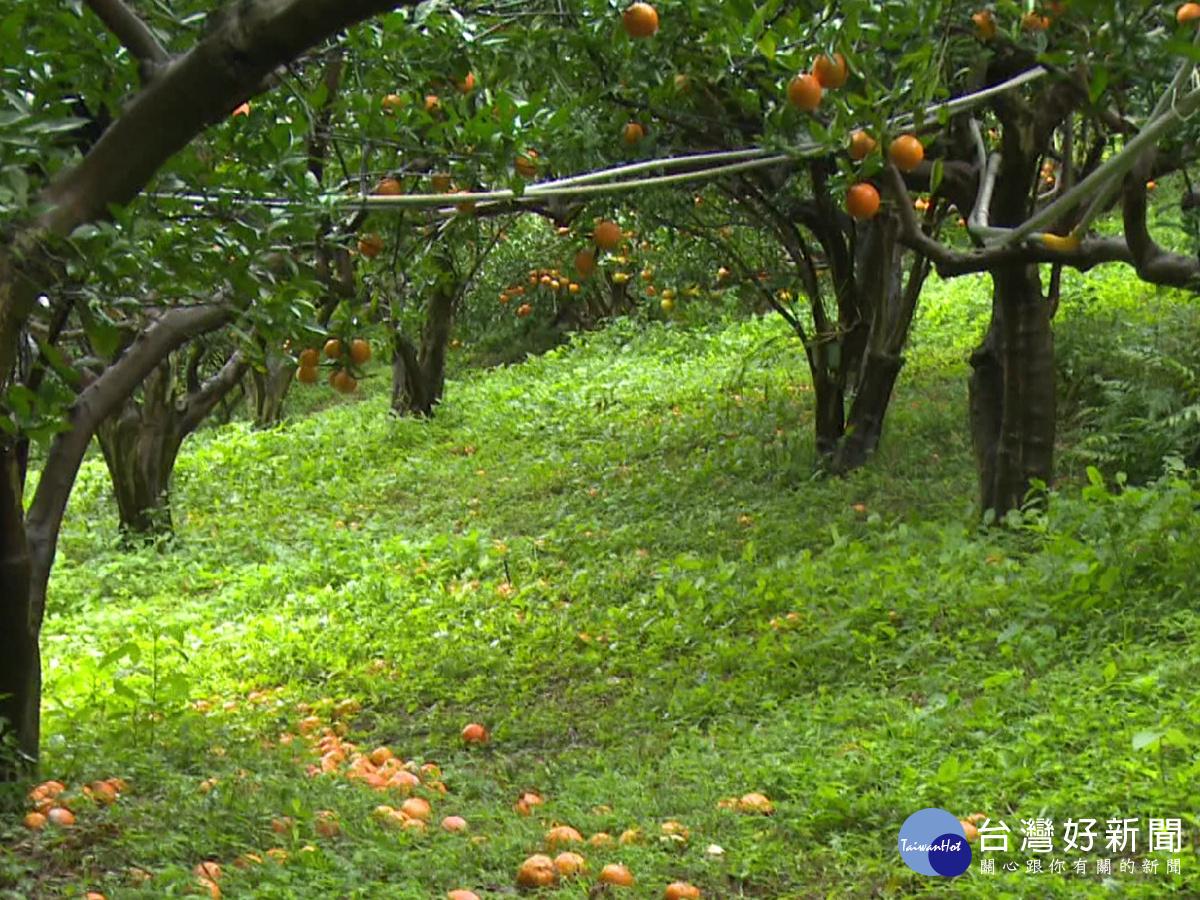 寒害影響 竹縣農作損失逾千萬