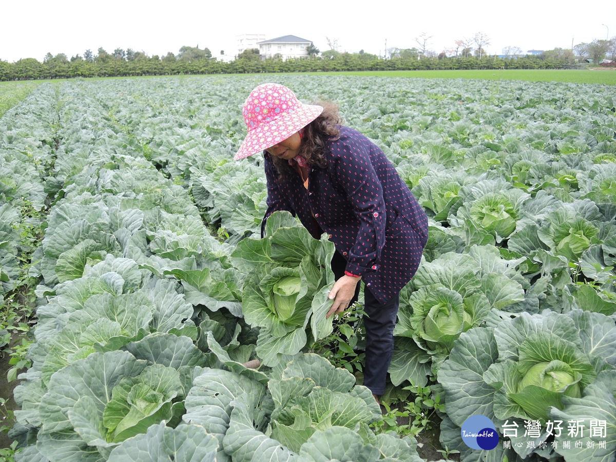 高麗菜價崩盤 農民開放採收盼回收血汗錢