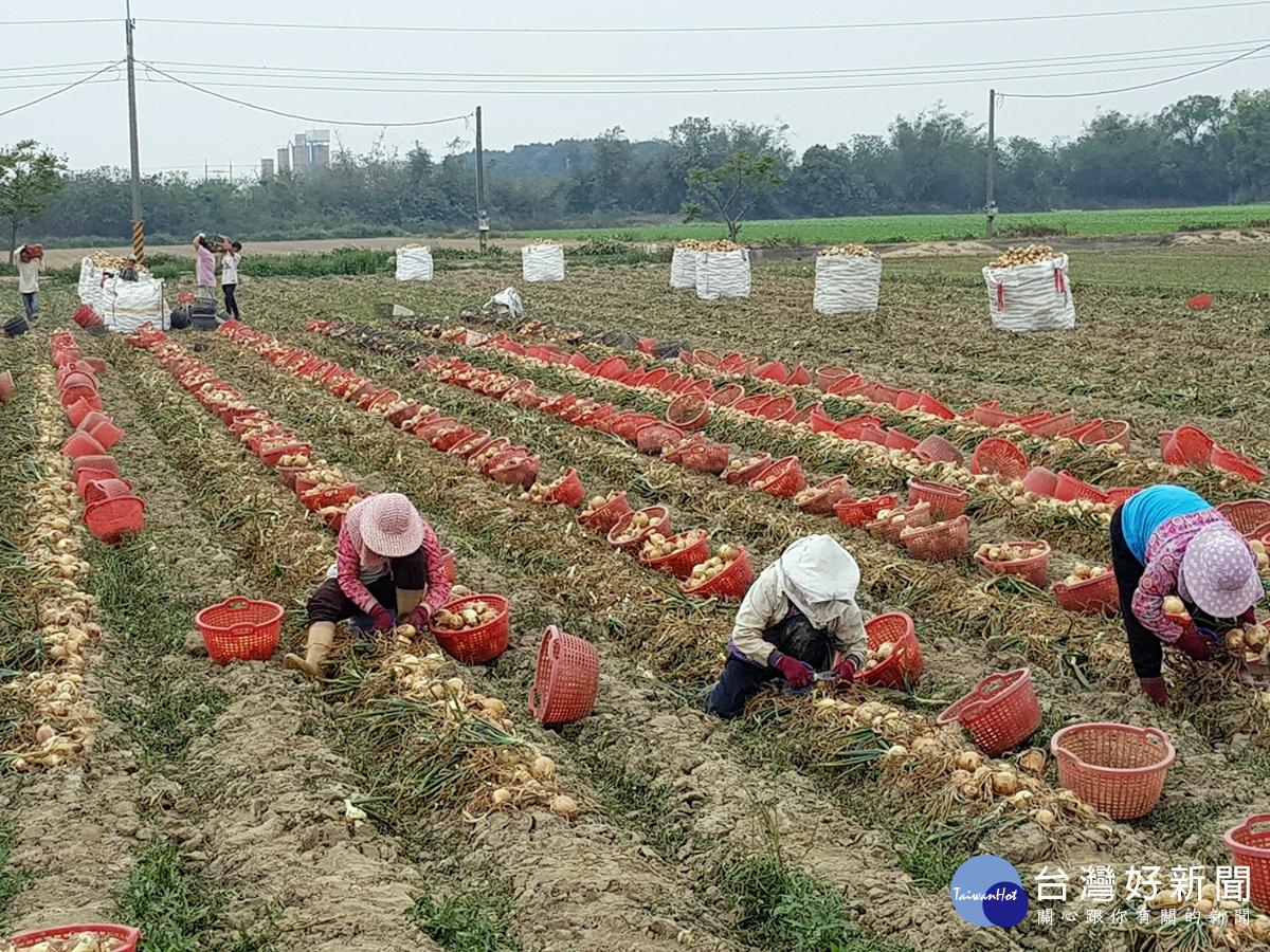 國產洋蔥鮮甜好滋味 農糧署呼籲消費者多加選購