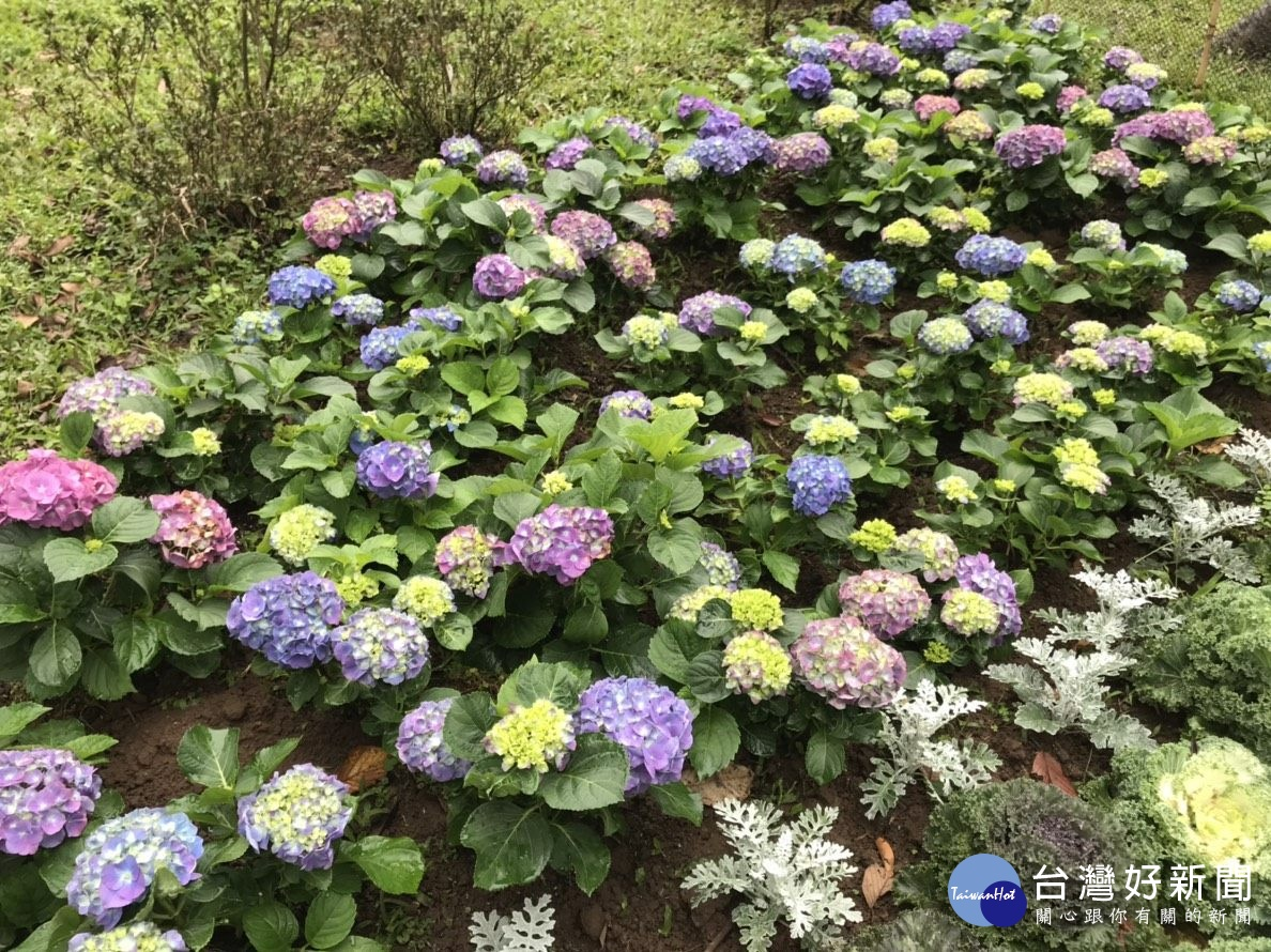繡球花五彩繽紛 土壤酸鹼影響花色變化