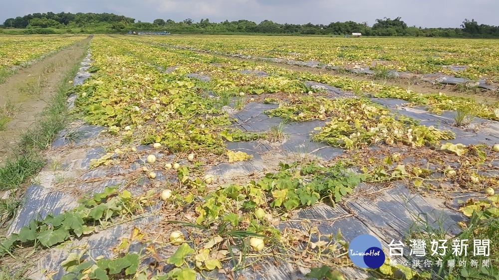 高市西瓜及香瓜農損,行政院農業委員會公告辦理農業天然災害現金救助,以減輕農友損失並協助恢復生產。