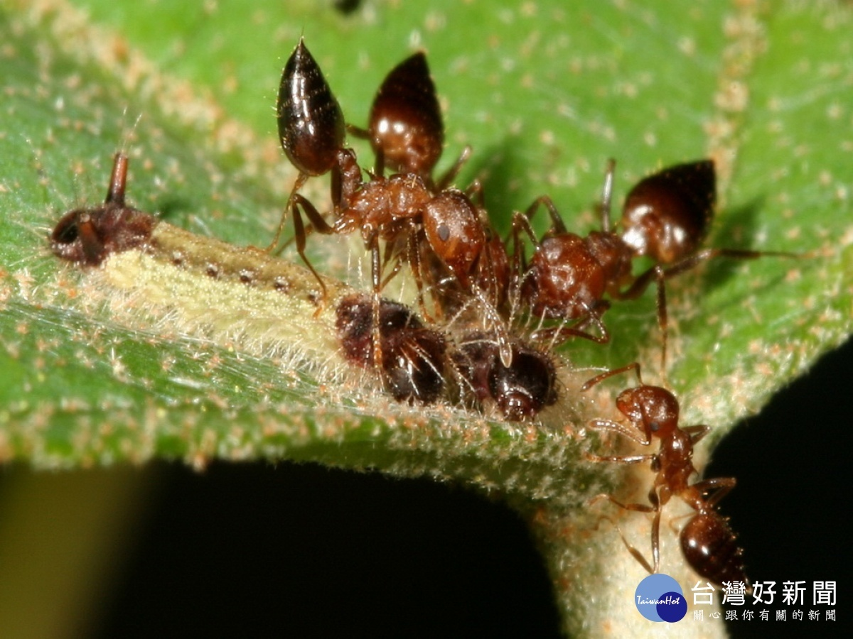 中興大學、台師大跨國團隊 破解蝴蝶與螞蟻間的摩斯密碼