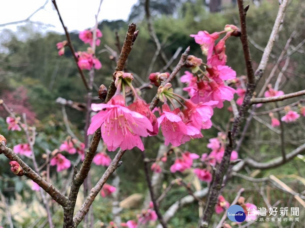 寒櫻迎春開 走訪內湖內溝溪體驗櫻花樹下的浪漫