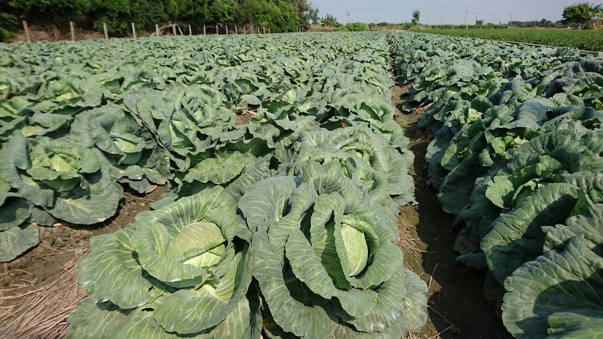 8、9月高麗菜種植面積達合理規模上限 農糧署籲農友分散種植期