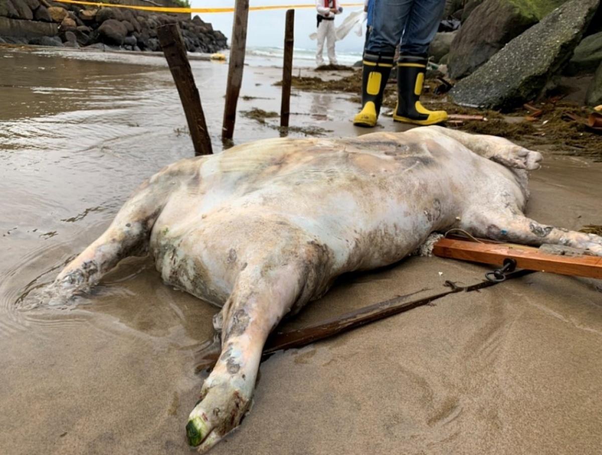 台灣本島海岸首見非洲豬瘟海漂豬屍 國內啟動緊急應變措施