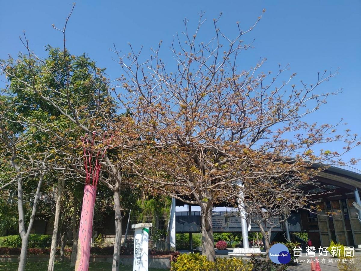 樹上有木魚? 新生公園掌葉蘋婆引人駐足