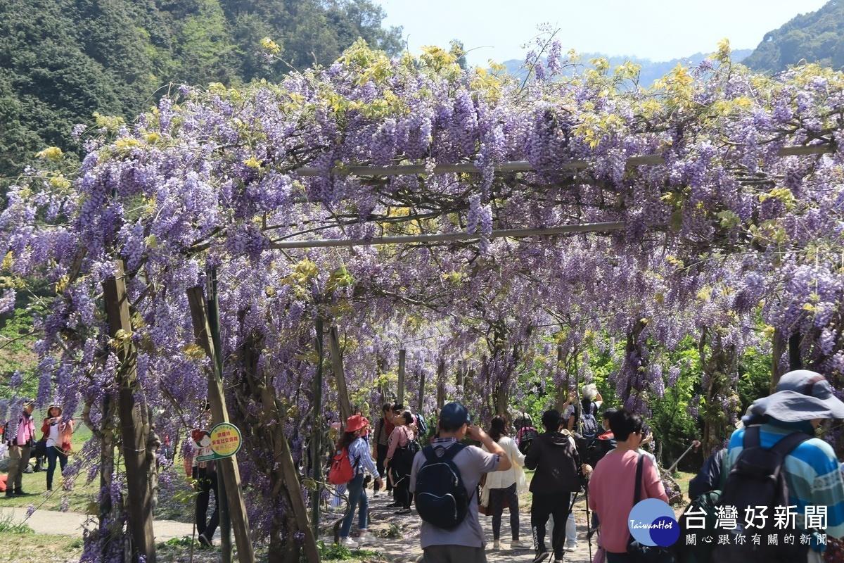 杉林溪牡丹花海大爆發 紫藤花廊成打卡亮點